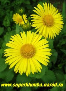 ДОРОНИКУМ ПОДОРОЖНИКОВЫЙ (Doronicum plantagineum) цветы крупным планом. Неприхотливая, зимостойкая и нарядная ромашка. ЦЕНА 150 руб (1 делёнка)