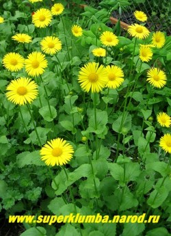 ДОРОНИКУМ ПОДОРОЖНИКОВЫЙ (Doronicum plantagineum) солнечные цветы диаметром 8-9 см, самая ранняя из ромашек. Цветет с середины мая 30-40 дней, иногда цветет повторно в конце лета, высота до 70 см, ЦЕНА 150 руб (1 делёнка)