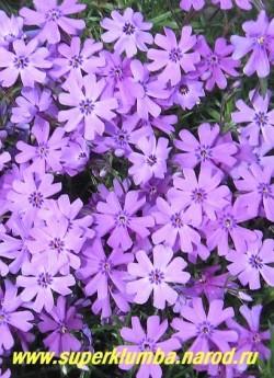 """ФЛОКС ШИЛОВИДНЫЙ """"Пепл бьюти"""" (Phlox subulata """"Purple beauty"""") Вечнозелёные ковры толщиной 5-10 см, сиренево-  голубые с фиолетовым глазком цветы, диаметр цветка около 2 см, высота 10 см, цветет с конца мая около 30 дней   ЦЕНА  200-250 руб  (1 кустик)"""
