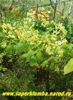ГОРЯНКА РАЗНОЦВЕТНАЯ вар. СЕРНОЖЕЛТАЯ (Epimedium x versicolor var. sulphureum) Цветущий кустик в нашем саду.  ЦЕНА 250 руб (1 деленка )