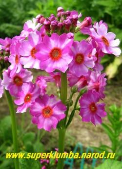 """Примула японская """"СВЕКОЛЬНО-РОЗОВАЯ"""" (Primula japonica), высота до 40см, цветы собраны в многоярусное (5-7ярусов) соцветие, цветет июнь-июль, ЦЕНА 170 руб (штука)"""