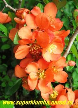"""на фото цветы АЙВЫ ЯПОНСКОЙ """"Оранжевой"""" (Chaenomeles japonica) крупным планом. ЦЕНА 350 руб НЕТ НА ВЕСНУ"""