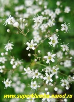 ГИПСОФИЛА МЕТЕЛЬЧАТАЯ или КАЧИМ белая (Gypsophila paniculata) цветы крупным планом. Хороша в цветниках,, эффектна в групповых посадках, великолепно подходит для аранжировки букетов.  НЕТ  В ПРОДАЖЕ