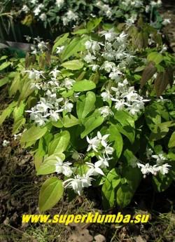 ГОРЯНКА ПЫШНАЯ «Нивеум» (Epimedium x youngianum «Niveum») Невысокая горянка высотой 20-25 см, с перистыми, раскрывающимися бронзовыми, позднее зеленеющими листьями. Соцветия чисто белые. Цветет обильно в мае-июне. ЦЕНА 400 руб (1 делёнка)