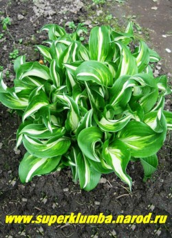 Хоста ВОЛНИСТАЯ (Hosta Undulata) размер M. Листья кудрявые овальные с удлинённым завивающимся кончиком и волнистым краем. Середина бело-кремовая с салатовыми разводами и тёмно-зелёным окаймлением , цветы лавандовые. Очень красивая и неприхотливая. ЦЕНА 150 руб ( 1шт) большие кусты: 4-8 розеток от 350-700 руб