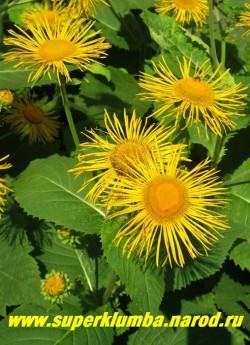 ДЕВЯСИЛ ВЫСОКИЙ (Inula helenium) крупное величественное растение, высота до 2 м, обильно цветет желтыми ромашками диаметром 8-9 см в июле-августе. В культуре с глубокой древности, корень используется в лечебных целях. ЦЕНА 200-300 руб (1 шт)