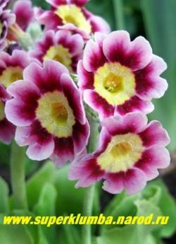 """Примула ушковая """"ВИШНЕВАЯ С РОЗОВОЙ КАЙМОЙ"""" (Primula auricula) вишневая с розовой каймой и лимонной серединкой, с ароматом, высота до 15 см, цветет май-июнь, ЦЕНА 280 руб. (штука)"""