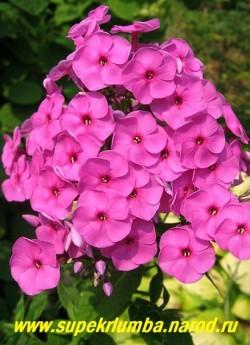 Флокс метельчатый МАРС ? (Phlox paniculata Mars) С, 100-150/2.8-3,5. Малиново-сиреневый с маленьким карминовым колечком. Некрупные цветки собраны в большие шапки, красивый, очень высокий.  ЦЕНА 200 руб  (1 шт)  или 400 руб кустик (3-4 шт)