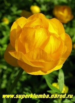 """КУПАЛЬНИЦА ЕВРОПЕЙСКАЯ """"желто-оранжевая"""" (Trollius europaeus)  Цветки диаметром до 5 см, чашелистики насыщенно-желтые, цветет май-июнь, высота до 60 см, ЦЕНА 150-200 руб (делёнка)"""