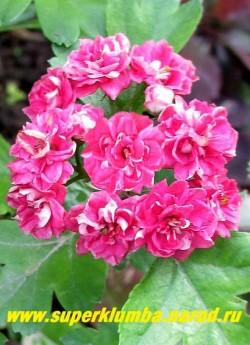 """БОЯРЫШНИК ОБЫКНОВЕННЫЙ """"Полз Скарлет"""" (Crataegus oxyacantha """"Pauls Scarlet"""" ) Соцветие крупным планом. Растет этот сорт достаточно медленно, но вырастает до 4-5 метров в высоту . В Подмосковье достаточно зимоустойчив, но в суровые зимы может подмерзать. НОВИНКА! НЕТ В ПРОДАЖЕ"""