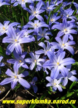 ХИОНОДОКСА ЛЮСИЛИИ (Chionodoxa Luciliae) голубые с белым центром звездчатые цветы диаметром 3-4 см, высота до 15 см, Цветет в апреле-мае в течение 20 дней, ЦЕНА 100 руб (6 шт)