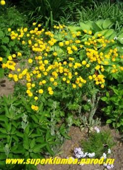 """ЛЮТИК ЕДКИЙ """"Махровый"""" (Ranunculus acris f. hortensis)  фото цветущего кустика в моем саду.  ЦЕНА 200 руб. (делёнка)"""