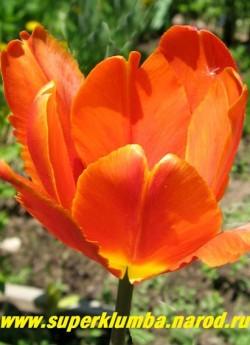 Тюльпан ОРАНЖ ФАВОРИТ (Tulipa Orange Favorite)  попугайный. ярко оранжевый с зеленоватым налетом на спинке и сильно рассеченными крями лепестков; очень душистый;среднепоздний, высота до 45см. ЦЕНА 70 руб (1 лук)