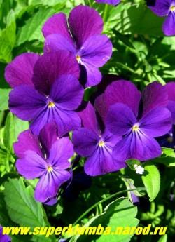 """ФИАЛКА ГИБРИД РОГАТОЙ """"фиолетовая"""" (Viola cornuta) , образует кустики высотой 15- 20 см, цветет весь сезон крупными фиолетовыми цветами, высота 10-15см, малолетка (3-4 года) но легко возобновляется самосевом. ЦЕНА 100 руб (1 шт)"""