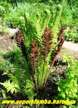 """СТРАУСНИК ОБЫКНОВЕННЫЙ (Мatteuccia struthiopteris) это крупный красивый папоротник, отварные молодые побеги его съедобны и по вкусу напоминают цветную капусту, весной очень декоративен, разворачивая свои листья """"улиточки"""", высота до 100 см,  ЦЕНА 150-250 руб (делёнка)"""