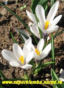 """КРОКУС ВЕСЕННИЙ (Crocus vernus) """"белый со звездчатой формой цветка"""", горло фиолетовое.  НЕТ В ПРОДАЖЕ."""