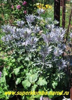 СИНЕГОЛОВНИК АЛЬПИЙСКИЙ (Еryngium alpinum) красивый сухоцвет с крупными сине-голубыми соцветиями, высота 70 см, цветет с июля и остается декоративным до поздней осени. НОВИНКА! ЦЕНА 300 руб