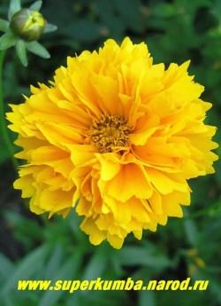 """КОРЕОПСИС КРУПНОЦВЕТКОВЫЙ """"Ранний Восход"""" (Coreopsis grandiflora """"Early Sunrise"""" ) цветок крупным планом. Многолетний, но желательно омолаживать куст делением раз в 3-4 года.  НЕТ В ПРОДАЖЕ"""