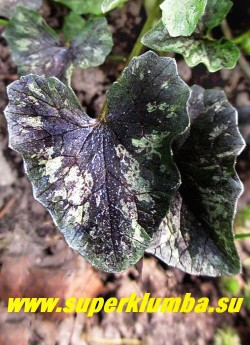 """ЧИСТЯК ВЕСЕННИЙ """"Бремблинг» (Ranunculus ficaria «Brambling») молодой лист темно-пурпурный с серебристыми пятнами разбросанными в хаотичном порядке. НОВИНКА! ЦЕНА 300 руб  (делёнка)"""