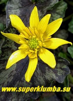 """ЧИСТЯК ВЕСЕННИЙ """"Бремблинг» (Ranunculus ficaria «Brambling») Цветок крупным планом. НОВИНКА!  ЦЕНА 300 руб (делёнка)"""