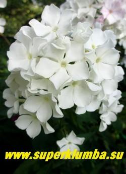 Флокс метельчатый БЕЛЫЕ ЗВЕЗДЫ (название условное) С, 90/3,0-3,5. Чисто белыез вездчатые цветки в крупных. плотно набитых шапках.  НОВИНКА. ЦЕНА 200 руб (1 шт) или 450 руб (кустик:3-4 шт)