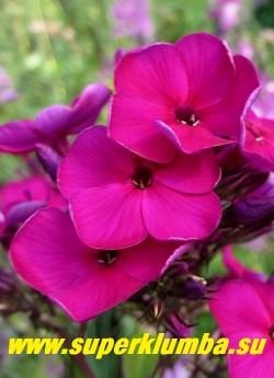 Флокс метельчатый ДУСТЕРЛО =НИККИ (Phlox paniculata Dusterlohe=Nicky)    Цветок крупным планом.  НОВИНКА! ЦЕНА 250 руб (1 шт) или 500 руб (куст 3-4 шт)