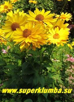 """ГЕЛИОПСИС ПОДСОЛНЕЧНИКОВОВИДНЫЙ  """"ВЕНУС"""" (Heliopsis  helianthoides var. scabra 'Venus')  многолетнее растение с прямыми  ветвистыми стеблями, до 1 м в  высоту.  Соцветия -корзинки, 8-9 см в диаметре. Язычковые цветки яично-желтые, расположены в несколько рядов, трубчатые - желтые.  Цветет длительно с июля до заморозков.   Хорошо зимует. Дает прекрасную срезку. НЕТ В ПРОДАЖЕ"""
