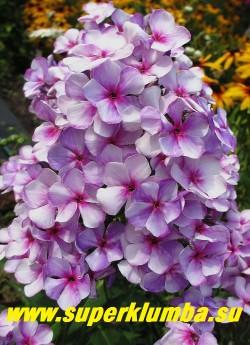 """Флокс метельчатый НЕОН ФЛЕР БЛЮ (Phlox paniculata  Neon Flare Blue) J.Verschoor, 2012, С,  70/2,5-3. Красочный сорт с темно сиреневыми бутонами, из которых раскрываются голубовато-белые цветы с вишневой серединкой и вишневыми мазками по краям лепестков. Напоминает сорт """"Маргри"""", но с мелкими цветками.  В Подмосковье показал высоту  70 см. НОВИНКА! ЦЕНА 250 руб (1 шт) или  500 руб  (кустик 3-4шт )"""