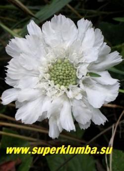 """СКАБИОЗА КАВКАЗСКАЯ """"Белая""""  (Scabiosa caucasica).   Многолетняя скабиоза с очень крупными ( до 7см )  белоснежными соцветиями.  на высоких до 70см цветоносах.  Листья   ланцетные  сизоватые, собраны с прикорневую розетку.  Цветет с июля 30-35 дней.  НОВИНКА!  ЦЕНА 250 руб (1 дел)"""