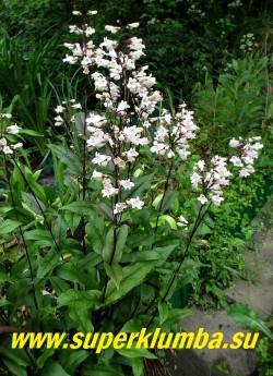 ПЕНСТЕМОН НАПЕРСТЯНКОВЫЙ «Хаскер Ред» (Penstemon digitalis »Husker Red») темно-красная листва и масса белых воздушных цветков, неприхотлив, зимостоек, цветет в июне- июле, высота 60-80см, ЦЕНА 250
