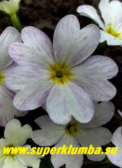 """Примула Юлии """"ЛЕТНИЙ ДОЖДЬ"""" цветок крупным планом в полной  окраске.  НОВИНКА! ЦЕНА 350 руб (делёнка)  НЕТ НА ВЕСНУ"""