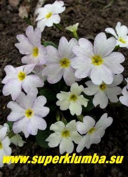 """Примула Юлии """"ЛЕТНИЙ ДОЖДЬ"""" Хамелеон  с интересной окраской- цветок раскрывается чисто белым, затем постепенно заполняется россыпью сиренево-голубых штрихов и точек.  высота до 12 см, цветет апрель-май, НОВИНКА!  ЦЕНА 350 руб (делёнка) НЕТ НА ВЕСНУ"""