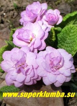 Примула бесстебельная махровая КВЕКЕРС БОННЕТ (Primula vulgaris Quakers Bonnet) нежно-сиреневые махровые цветы. НОВИНКА! НЕТ В ПРОДЖЕ
