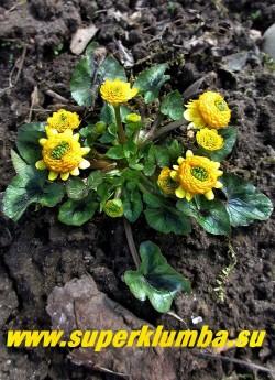 ЧИСТЯК ВЕСЕННИЙ «Колларетте» (Ficaria verna «Collarette») Популярный сорт с махровыми желто-оранжевыми цветками похожими на шишки  и нарядной листвой. Эфемероид- летом листва исчезает. Высота 10-15см, цветение апрель-май. ЦЕНА 400 руб (делёнка)