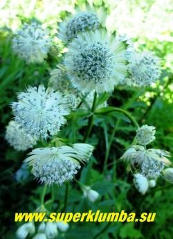 АСТРАНЦИЯ БОЛЬШАЯ «Шегги» (Astrantia major «Shaggy») Новый сорт с крупными почти в три раза крупнее обычных чисто-белыми цветами с зеленоватым оттенком! Очень длительное цветение июня по август, часто используется на срезку. Высота куста до 50см. НОВИНКА ! ЦЕНА 300 руб (1 деленка)