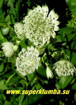 АСТРАНЦИЯ БОЛЬШАЯ «Шегги» (Astrantia major «Shaggy»)   Цветы крупным планом. НОВИНКА !    ЦЕНА 300 руб (1 деленка)