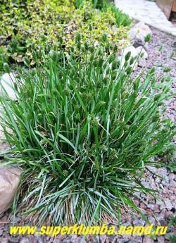 цветет СЕСЛЕРИЯ ГОЛУБАЯ (Sesleria caerulea) . Цветет маленькими зелеными колосками в июне. Хорошо смотриться как бордюрное растение, замечательно сочетается со всеми многолетниками. ЦЕНА 150-200 руб,