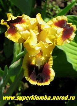 Ирис ДЖАЗАМАТЕЗЗ (Iris Juzzamatazz) Стандартный карликовый, сильногофрированный, лимонные верхние и темно-коричневые с желтой каймой нижние лепестки; бородка желтая, очень ранний , высота 25-35 см, ЦЕНА 200 руб  (1 шт)
