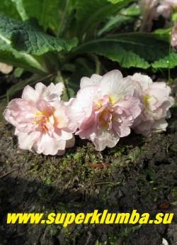 Примула бесстебельная  махровая ПИНК АЙС (Primula vulgaris Pink Ice) крупные белые с розовым румянцем густомахровые, ароматные цветы. НОВИНКА! ЦЕНА 350 руб (делёнка) НЕТ НА ВЕСНУ