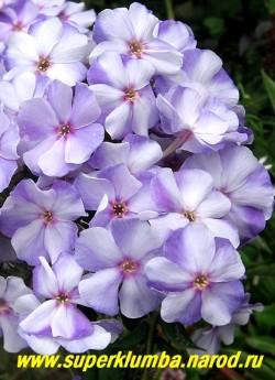 Флокс метельчатый НОВИНКА (Phlox paniculata Novinka) Харченко Е.Д., 1952, СП, 65-70/3,7. Белый с голубыми тенями, в центре небольшие пурпурные точки , бутоны голубые, лепестки волнистые. Соцветие округлое, большое, плотное. Куст красивый, хорошо разрастается. ЦЕНА 200 руб (1 шт) или 400 руб (куст: 3-4 шт)
