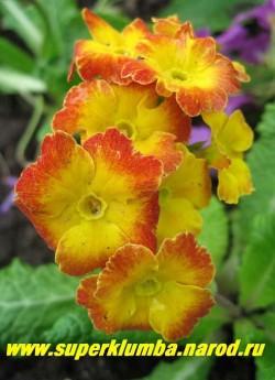 """Примула гибридная """"ХАМЕЛЕОН №6"""" Меняет цвет с желтого на оранжево-кирпичный, высота до 12 см, цветет апрель-май,  НЕТ В ПРОДАЖЕ"""