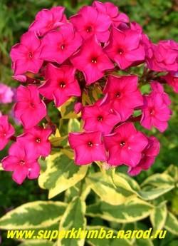 Флокс метельчатый ГОЛДМАЙН (Phlox paniculata Goldmine) С, 70/3,5. Очень яркие и эффектные листва и цветы. Листья с широкой насыщенной золотисто-желтой широкой каймой. Цветы пурпурно-малиновые, не выгорают. НЕТ В ПРОДАЖЕ