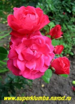 РОЗА № 2 полуплетистая, малиново-красная, яркая, нарядная, диаметр цветков 5-6 см, цветет с июля ЦЕНА 300-500 руб (3-5 летка)
