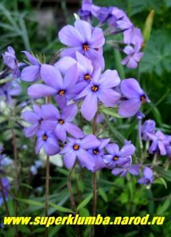 """ФЛОКС СТОЛОНОНОСНЫЙ """"Blue Ridge"""" (Phlox stolonifera """"Blue Ridge"""") образует дернинки из зимующих листьев . Цветки   фиолетово-синие с ярко-желтыми тычинками, диаметром 2 см, собраны в щитки, высота с цветоносами 20-25 см, без   5-10, цветет в начале июня, предпочитает полутень, разрастается хорошо. НОВИНКА! ЦЕНА 200-250 руб (1 дел)"""