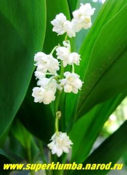 """ЛАНДЫШ МАЙСКИЙ """"Пролиферанс"""" (Convallaria majalis """"Proliferans"""") очаровательный сорт с крупными махровыми цветками до 1,5 см в диаметре . Высота до 20 см, цветет с мая по июнь, очень ароматные цветы, ЦЕНА 300 руб ( 2 шт)"""