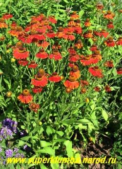 """ГЕЛЕНИУМ ОСЕННИЙ """"РАБИНЦВЕРГ"""" (Helenium """"Rubinzwerg"""") Невысокий очень ранний и долго цветущий сорт с огненно-красными цветами , После основного цветения, из пазух появляются новые цветоносы, продлевая цветение . Цветет с конца июня до заморозков.  Высота 75 см. НОВИНКА! ЦЕНА 200 руб (шт)"""
