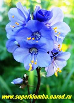 """цветет СИНЮХА ИЕЗОНСКАЯ """"Пэрпл Рейн Стрейн"""" (Polemonium yezoense """"Purple Rain Strain"""") цветы сине-фиолетовые я ярко-желтыми тычинками крупные, диаметром 2-3 см.   НЕТ  В ПРОДАЖЕ"""
