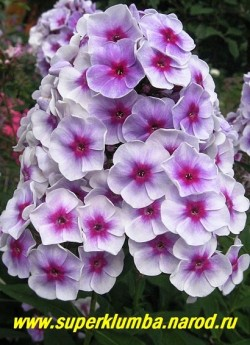 Флокс метельчатый ЯРОСЛАВНА ? (Phlox paniculata Yaroslavna) Гаганов П.Г., 1955, 50-60/3,7 Светло-сиреневые цветы с серым оттенком и с пурпурным глазом, цветы колесовидной формы, крупные и плотные соцветия, очень красив. ЦЕНА 250 руб (1 шт) или 500 руб (кустик: 3-4 шт)
