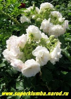 """РОЗА МОРЩИНИСТАЯ """"ПОЛАРЕИС"""" (Rosa rugosa """"Polareis"""") очень красивый сорт розы морщинистой с густомахровыми крупными белыми с розовым оттенком цветами. Высота до 2-м. Колючая, прекрасная зимостойкая живая изгородь. ЦЕНА  500 руб. ( большие кусты 4-5 летки) НЕТ  В ПРОДАЖЕ"""