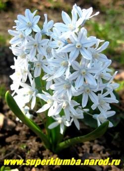 ПУШКИНИЯ ПРОЛЕСКОВИДНАЯ (Puschkinia scilloides) Цветки колокольчатые, бледно-голубые с синей полоской в центре каждого лепестка,1,5-2 см в диаметре, ароматные, собраны в плотное, кистевидное соцветие до 12 см длиной, высота 10-15 см, цветет с мая 20-25 дней, ЦЕНА 100 руб (3 шт)